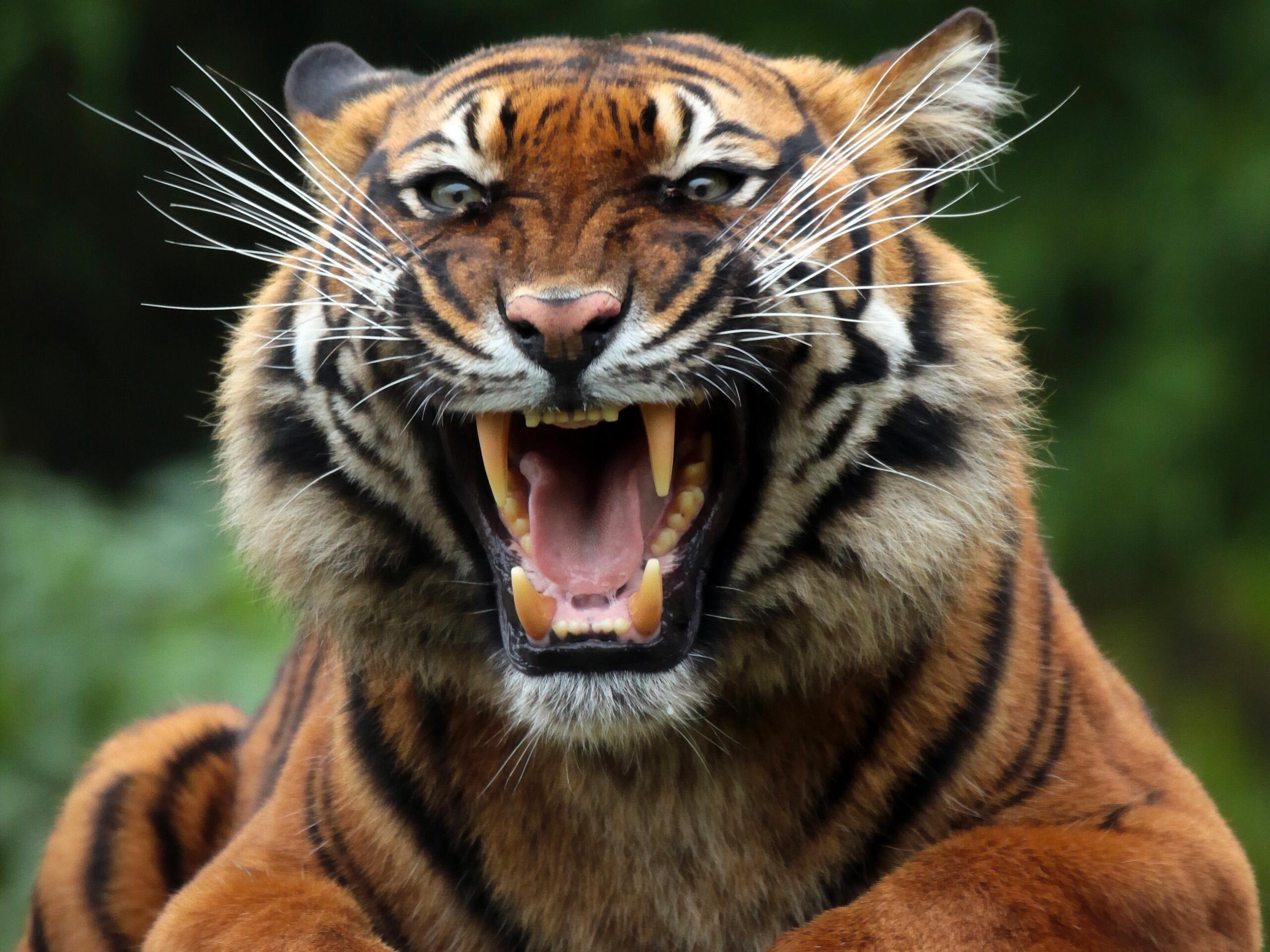 Тигр alt